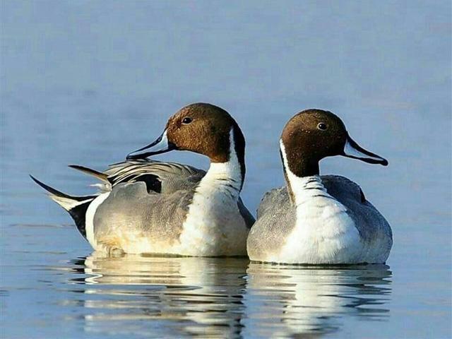 Los patos. Autor: Jaume Torrenti